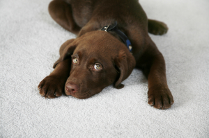 Pet Stain Odor Removal